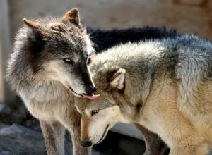 Love Wolf Wallpapers - Top Free Love Wolf Backgrounds