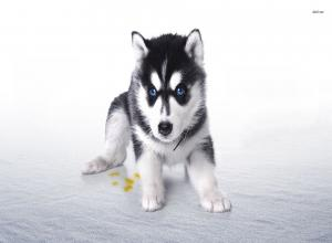 Puppy Wallpapers and Screensavers 42+