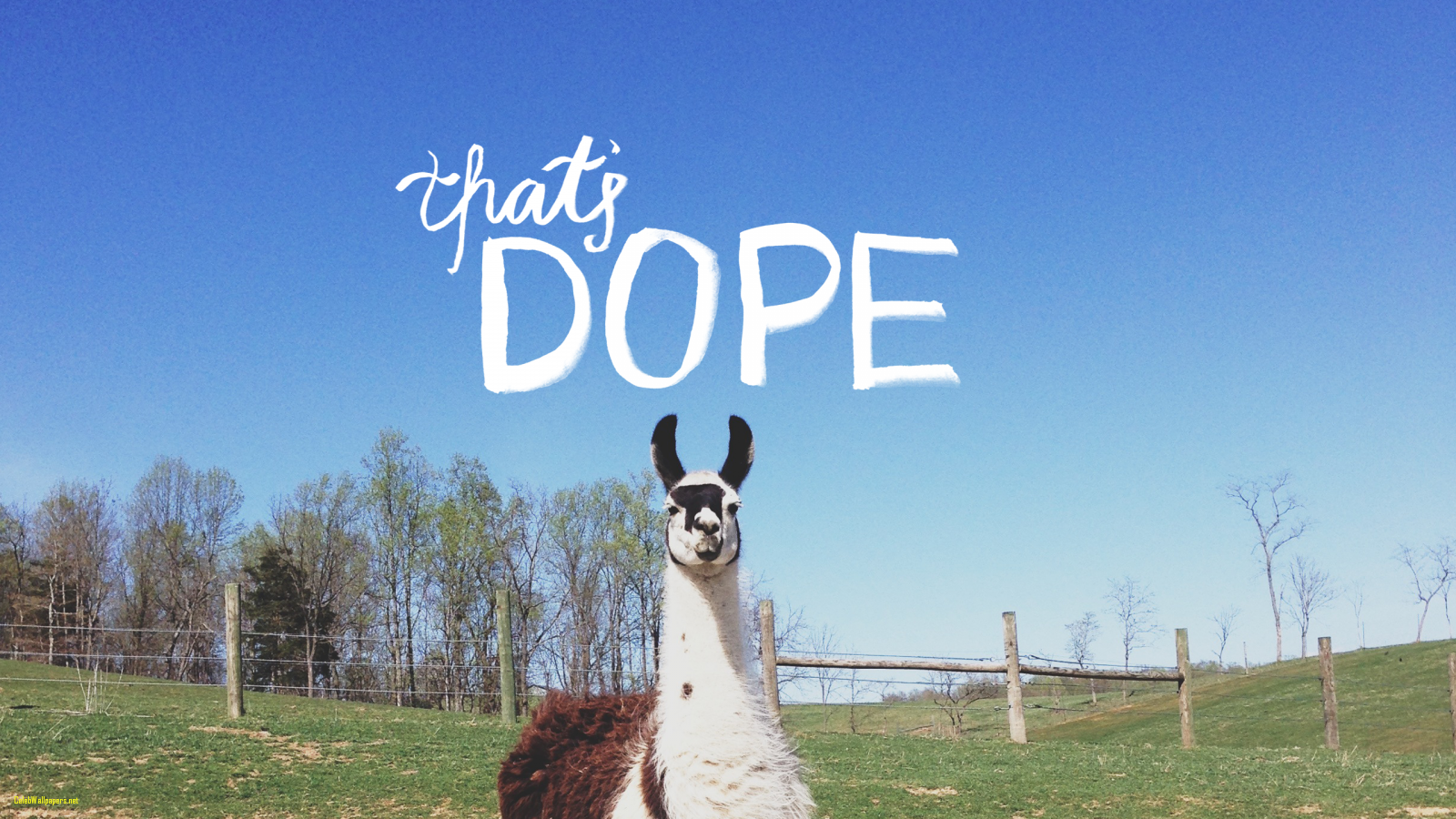 1600x900 Llama Wallpapers and Background Images - stmed.net