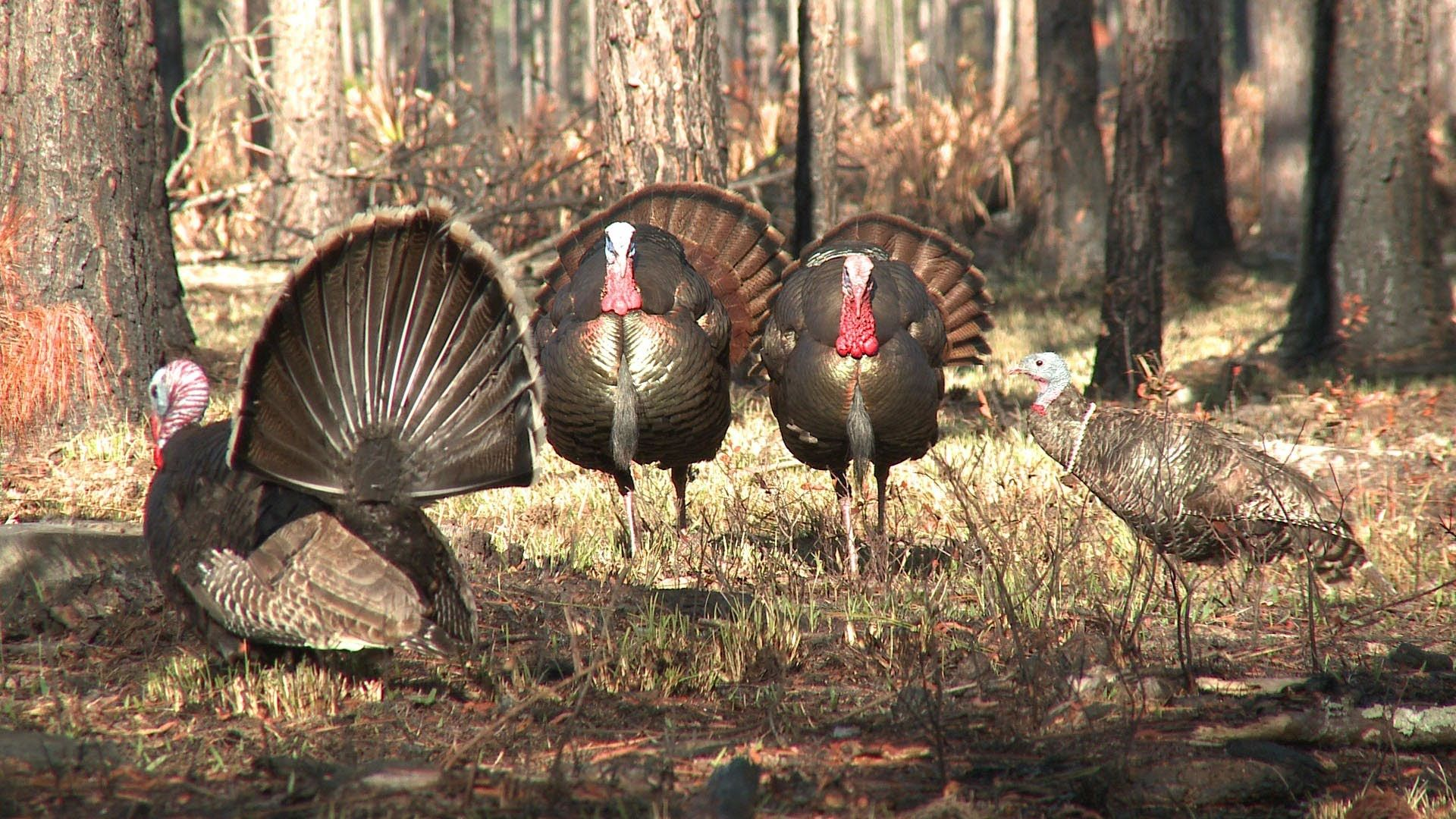 1920x1080 Turkey Hunting Tips – A Guide for Hunting Turkey