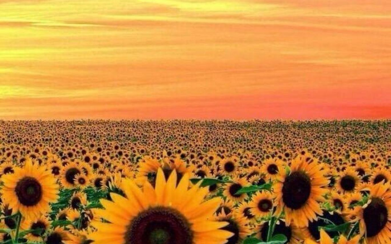 1368x855 Wallpaper Sunflower Yellow Tumblr Aesthetic Pictures2 ...
