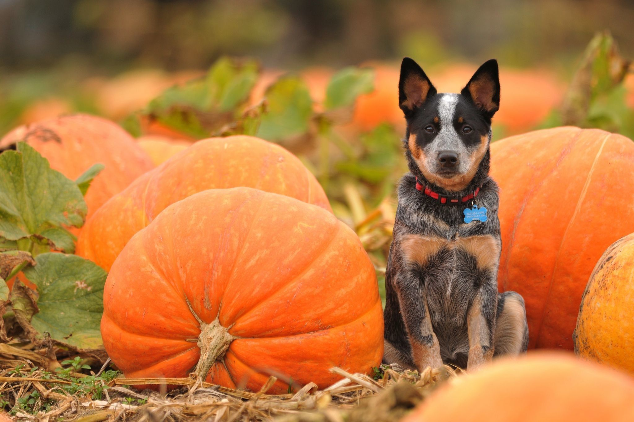 2048x1365 64+ Halloween Pets Wallpapers on WallpaperPlay