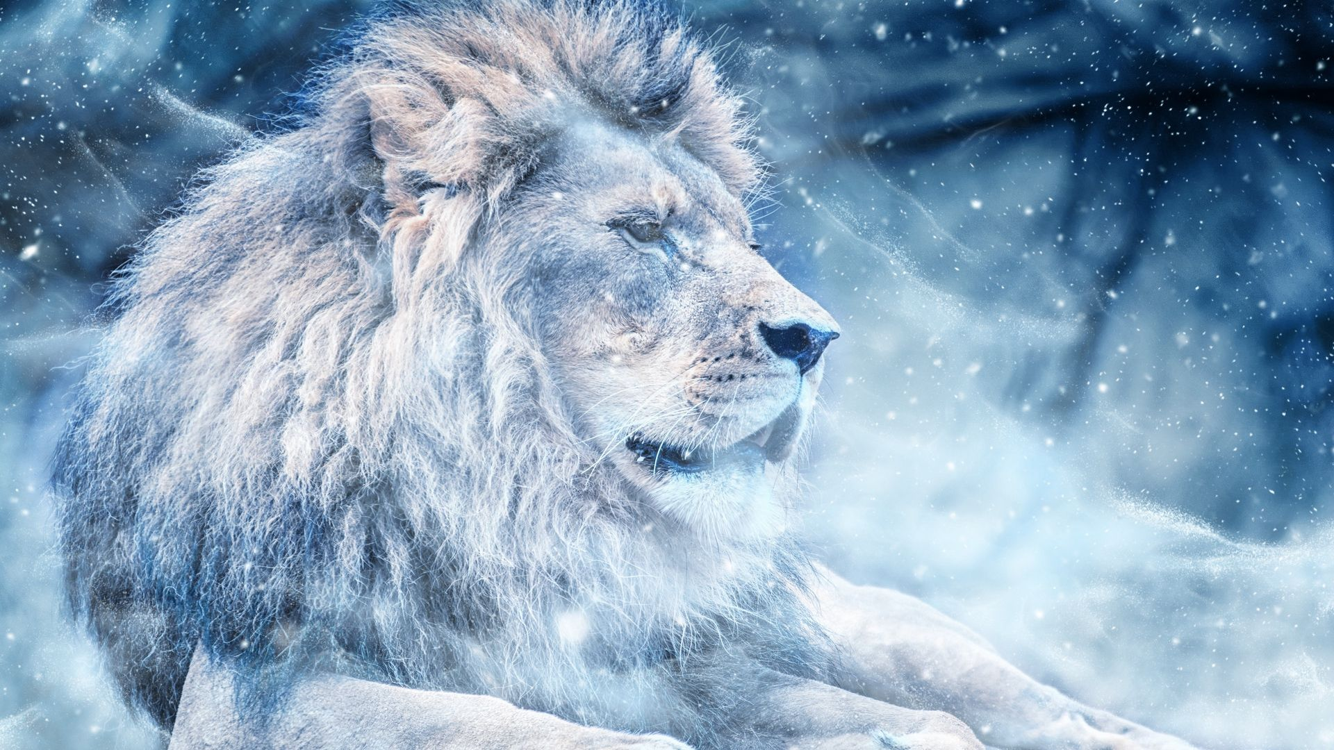 1920x1080 Download wallpaper 1920x1080 lion, snow, big cat, king of ...