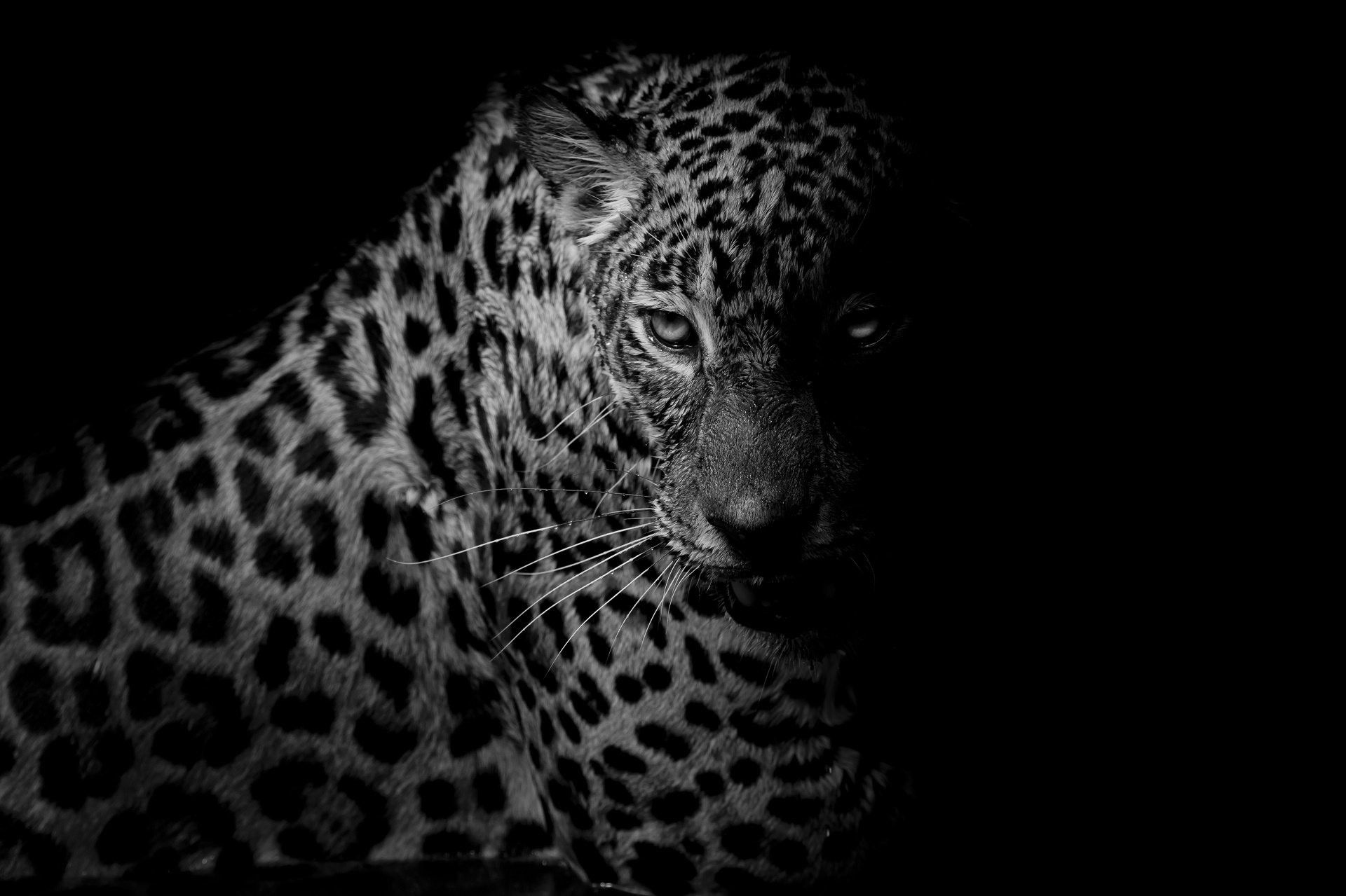 1920x1279 77+ Black Leopard Wallpapers on WallpaperPlay