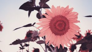 Pink Sunflower Wallpapers – Top Free Pink Sunflower Backgrounds