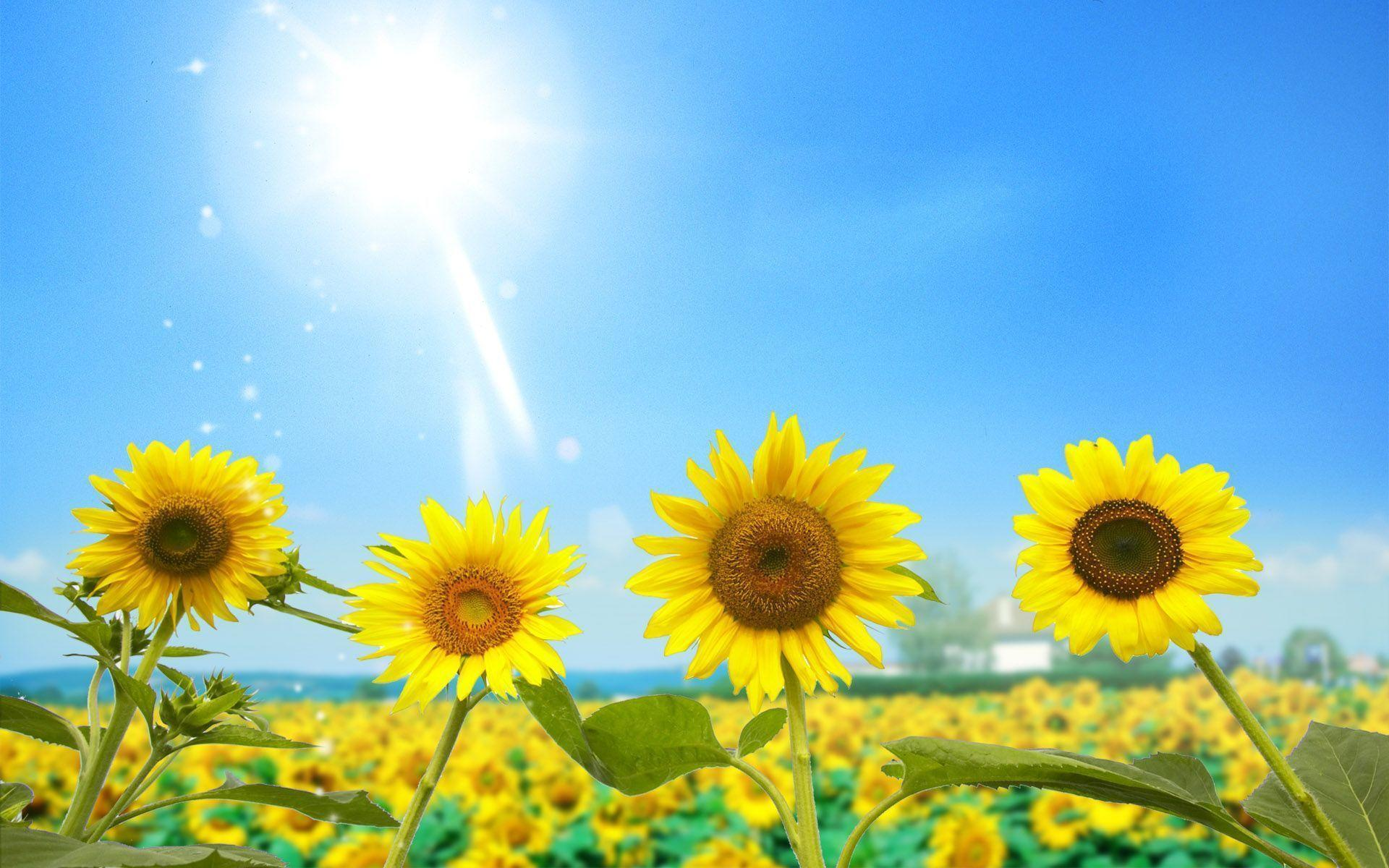 1920x1200 Sunflower Backgrounds