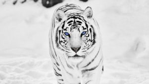 Snow Tiger Wallpapers – Top Free Snow Tiger Backgrounds
