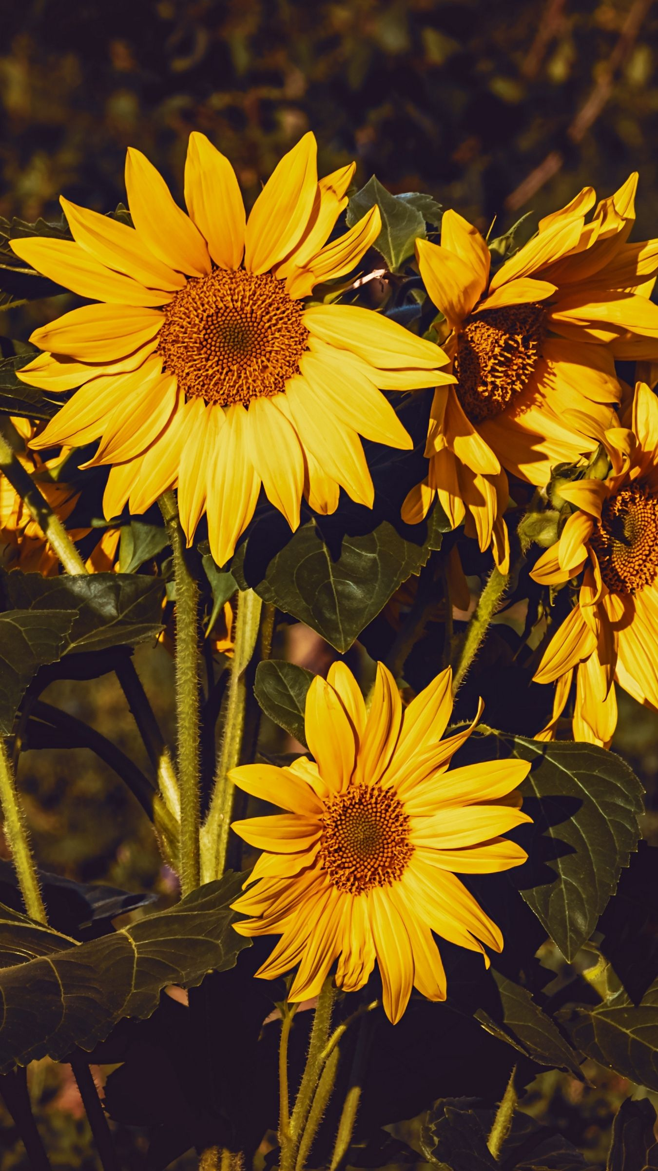 1350x2400 Download wallpaper 1350x2400 sunflower, flowers, summer ...