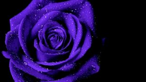 Purple and Black Rose Wallpapers – Top Free Purple and Black Rose Backgrounds