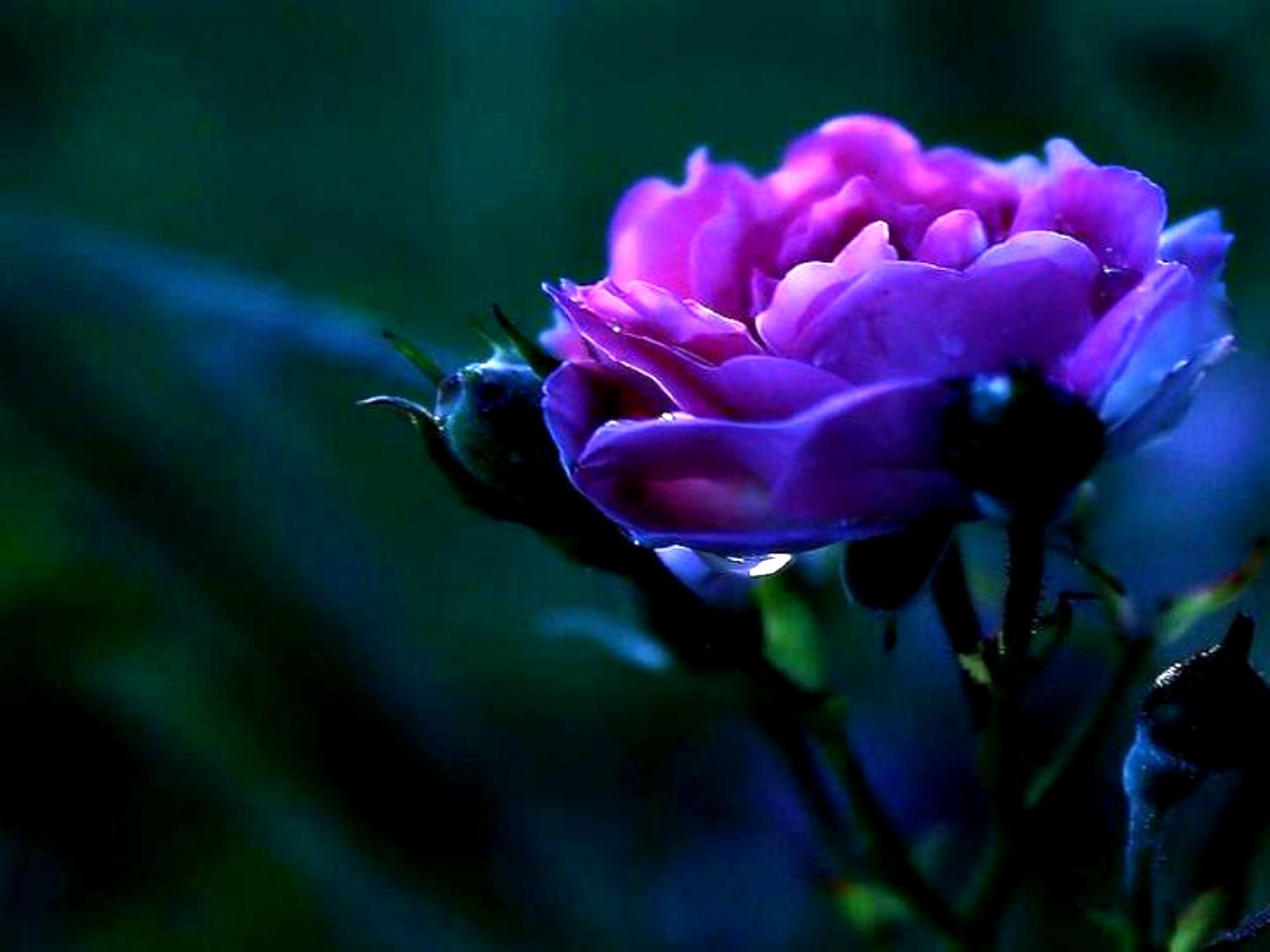 2000x1500 Violet Rose Wallpaper - Wallpapers Browse
