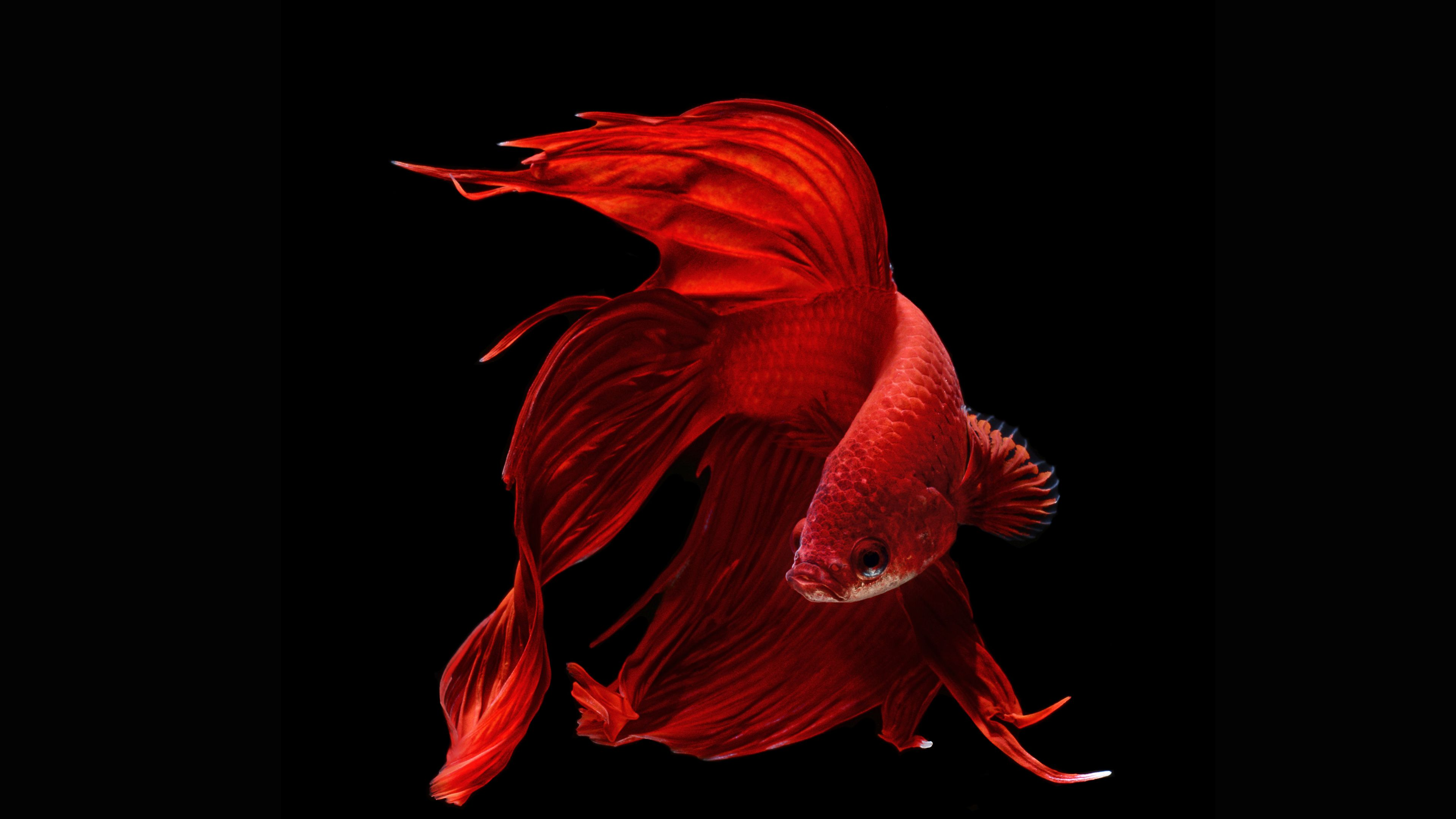 3840x2160 20 Siamese Fighting Fish HD Wallpapers | Background Images ...