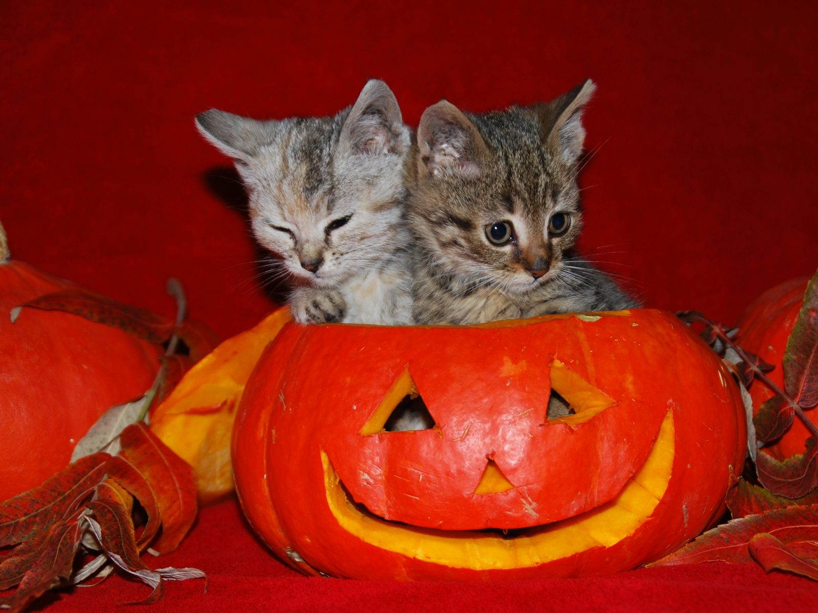 1600x1200 45+ Cute Puppy Halloween Wallpapers - Download at WallpaperBro