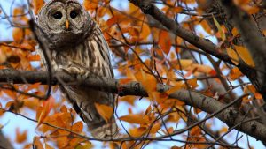 Fall Owl Wallpapers – Top Free Fall Owl Backgrounds