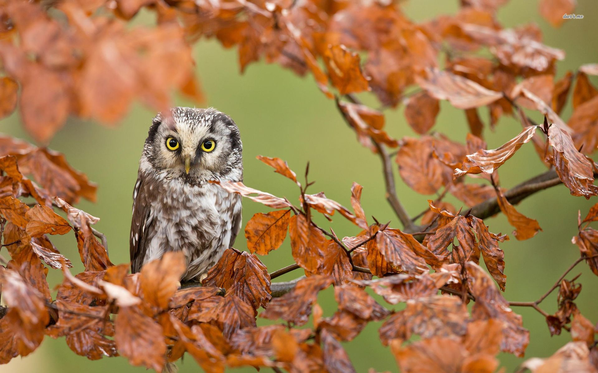 1920x1200 Northern Saw-whet Owl in an autumn tree wallpaper - Animal ...