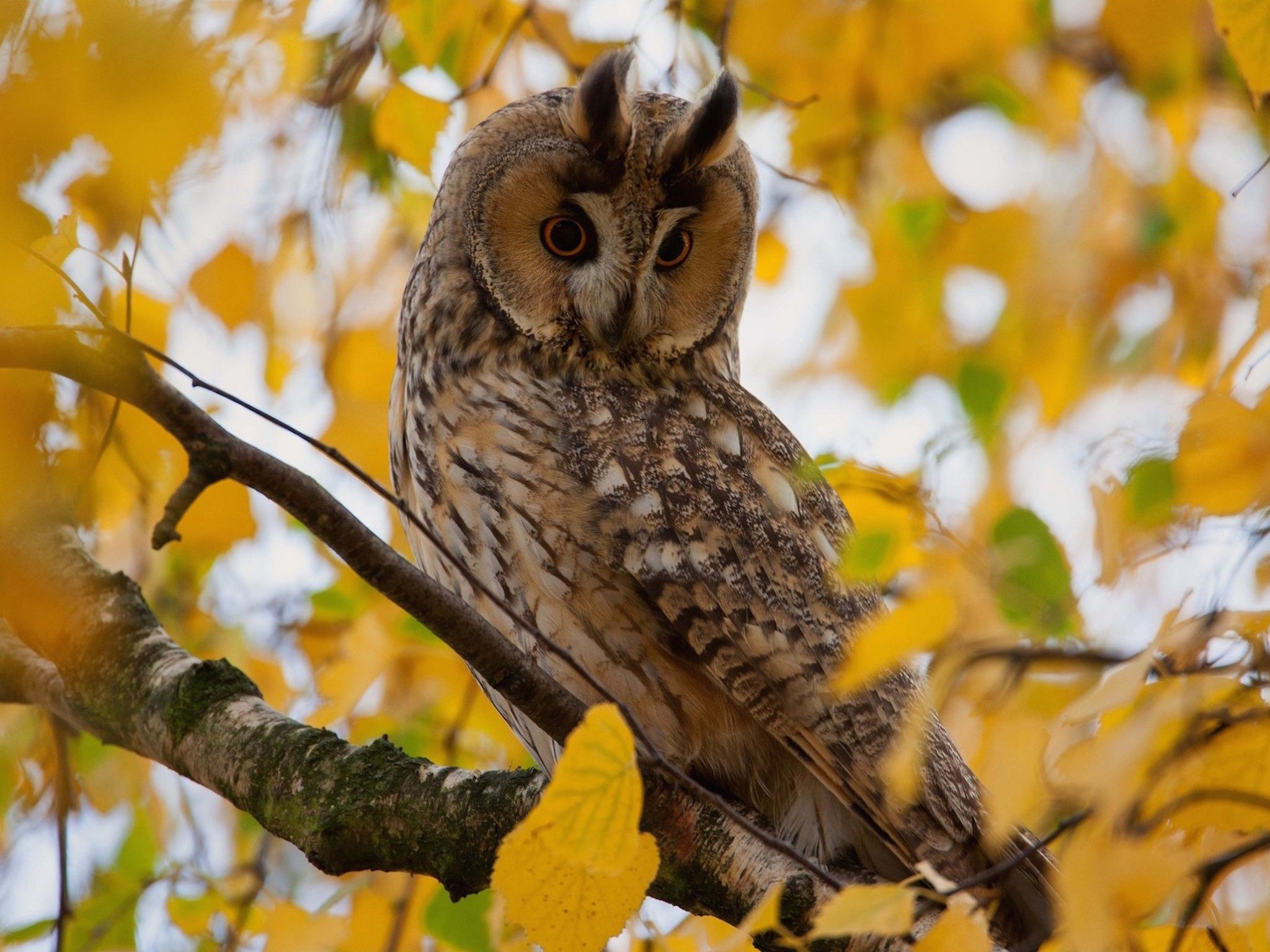 2048x1536 65+ Autumn Owl Wallpapers - Download at WallpaperBro