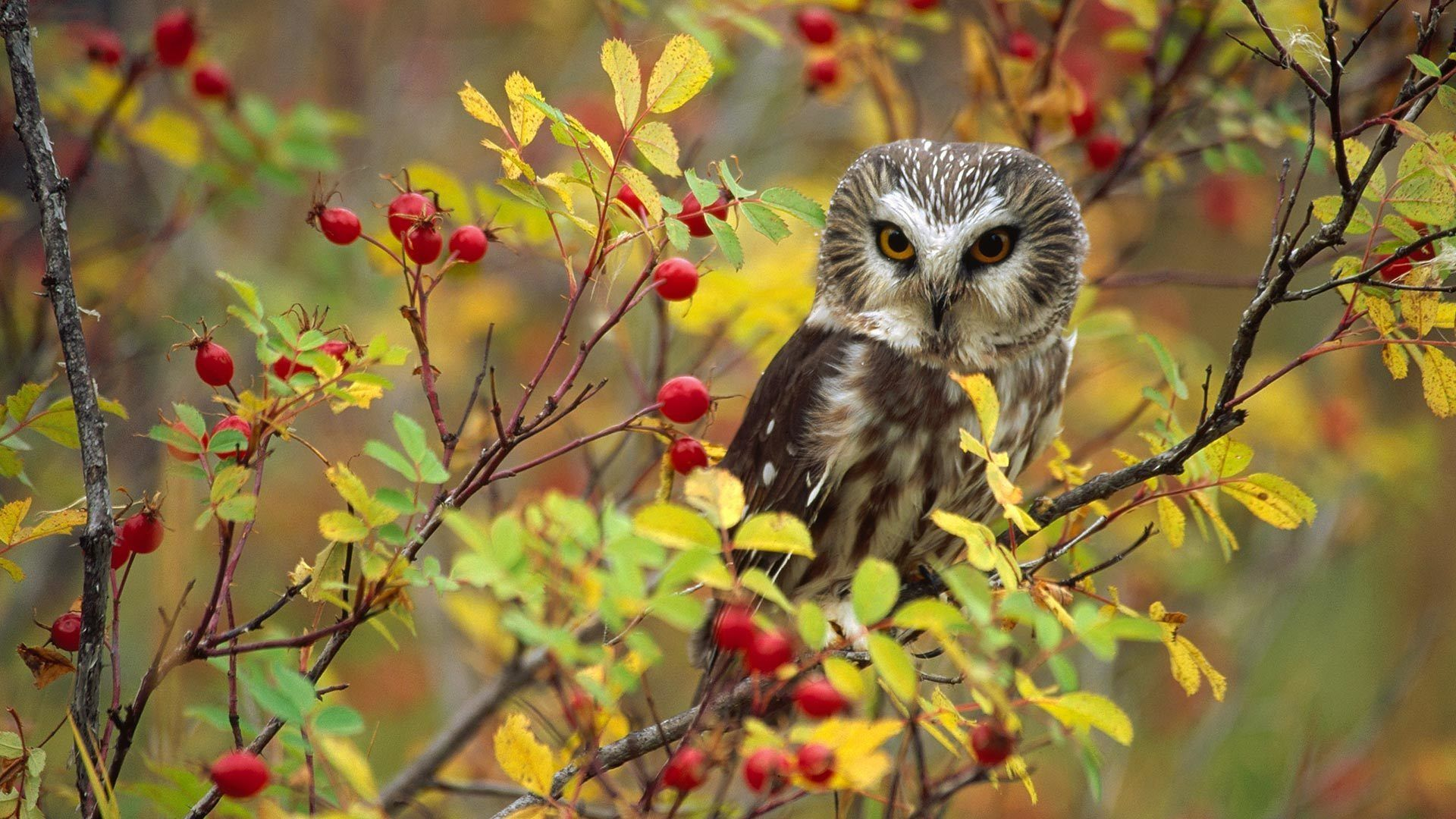1920x1080 Owl Bird Sitting At Branch Wallpapers - 1920x1080 - 602783
