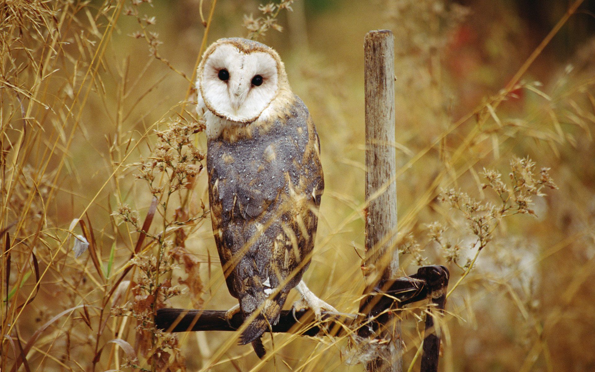 1920x1200 Barn owl Wallpapers and Background Images - stmed.net