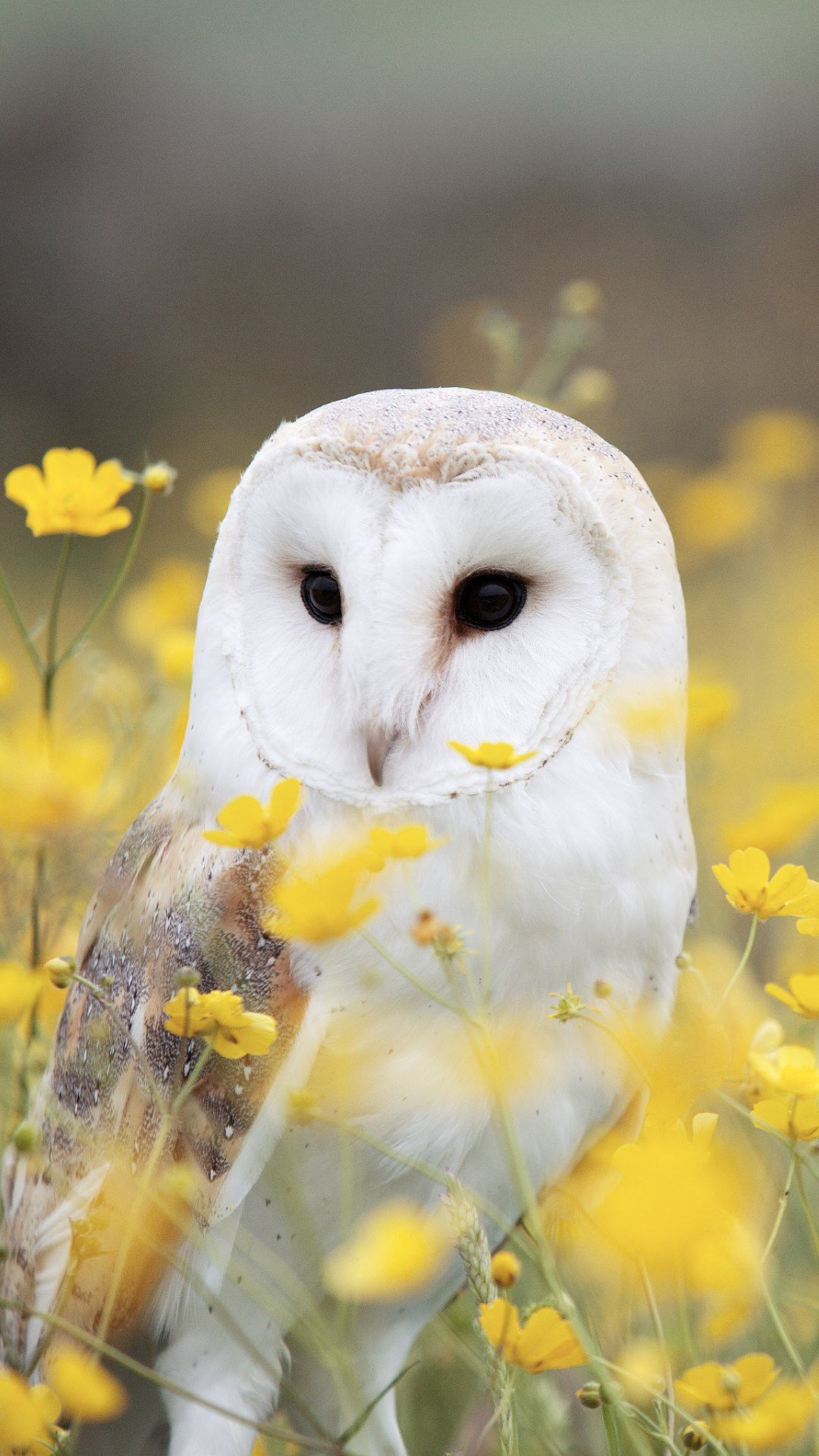 1080x1920 Best 49+ Barn Owl Wallpaper on HipWallpaper | Old Barn ...