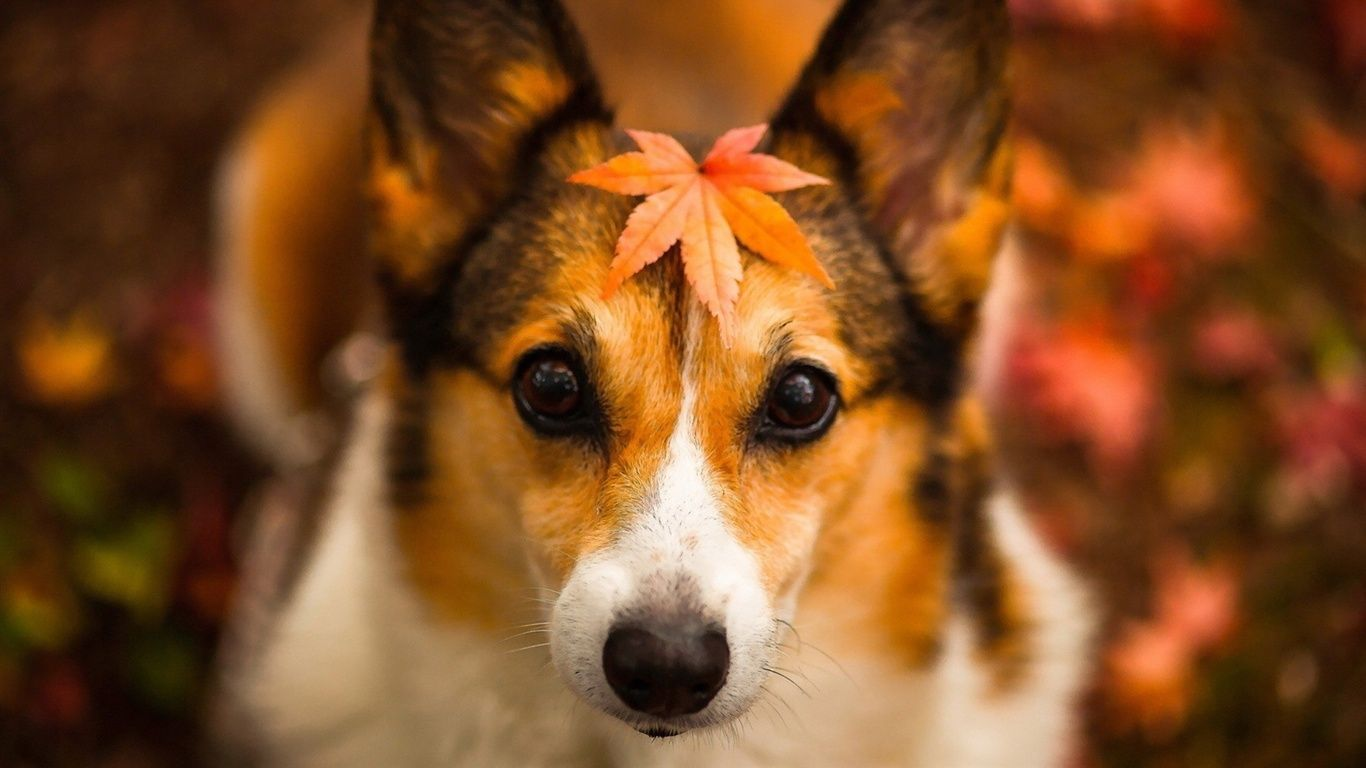 1366x768 Wallpaper Autumn dog, red leaves, fuzzy background 1920x1200 ...