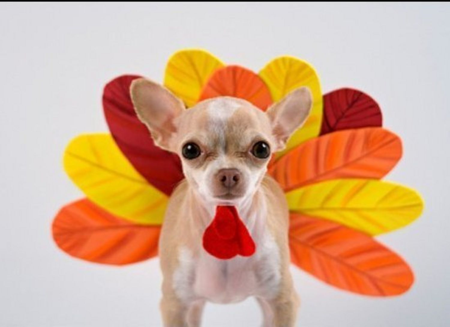 1500x1090 Thanksgiving Pet Costumes ▻ Dress The Dog - clothes for ...