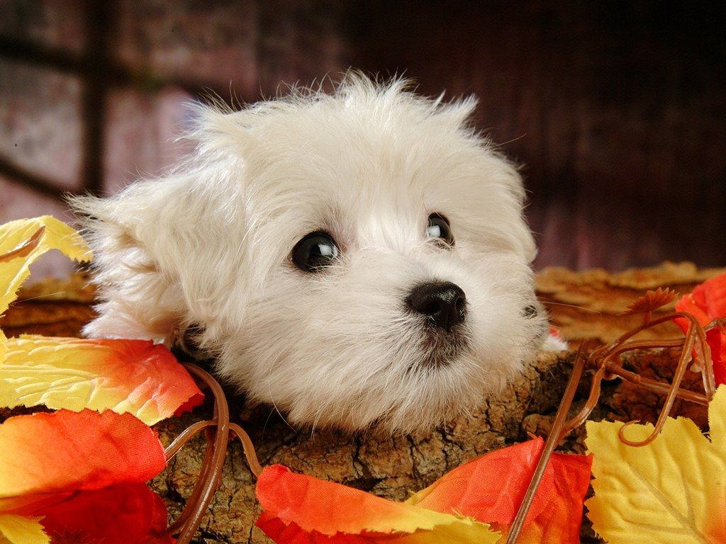 1024x768 Fluffy Maltese Puppy Dogs - White Maltese Puppies wallpapers ...