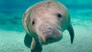 Manatee Wallpapers – Top Free Manatee Backgrounds