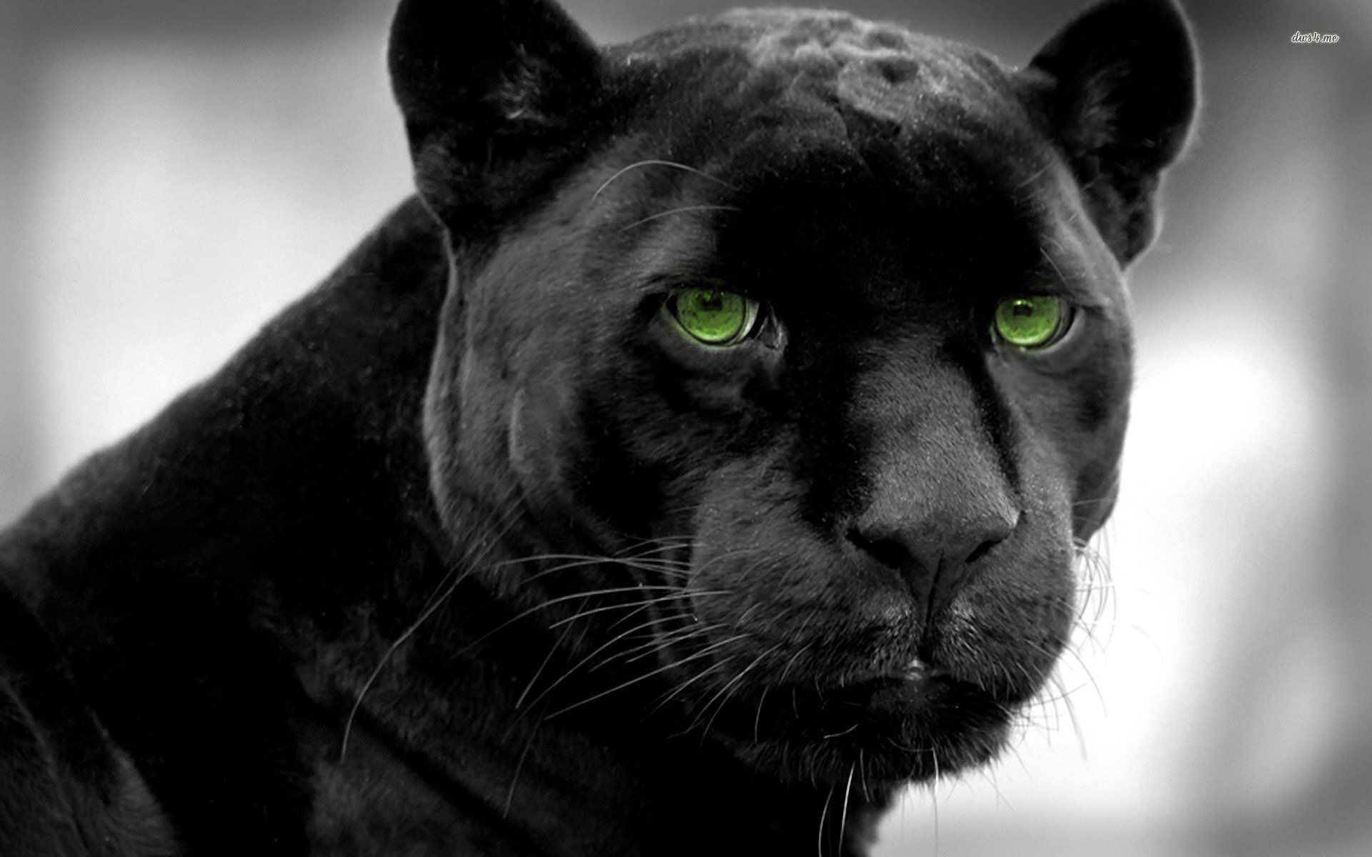 1920x1200 101 Black Panther HD Wallpapers   Background Images ...