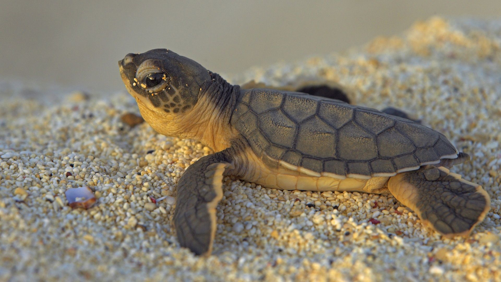 1920x1080 Baby Turtle Wallpaper For Android Wallpaper | WallpaperLepi