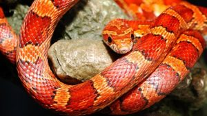 Corn Snake Wallpapers – Top Free Corn Snake Backgrounds