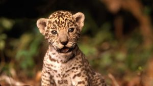 Baby Jaguar Wallpapers – Top Free Baby Jaguar Backgrounds