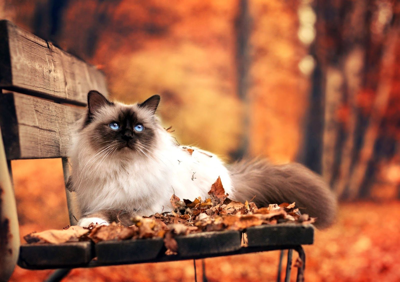 1600x1131 Fall Wallpaper With Cats | Wallpapers Library