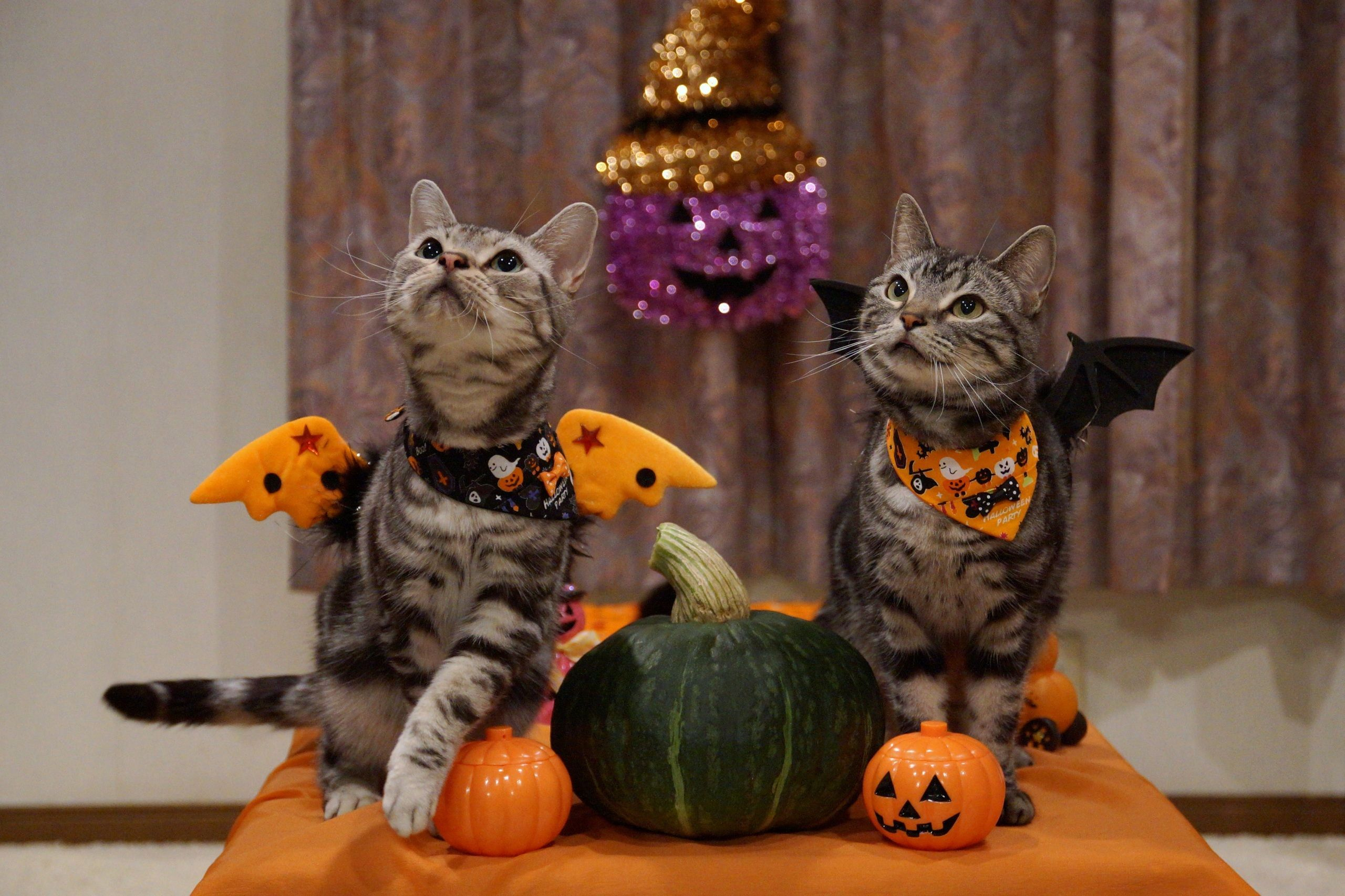 2560x1706 Pin by cindy on FALL/HALLOWEEN | Halloween cat, Animals ...