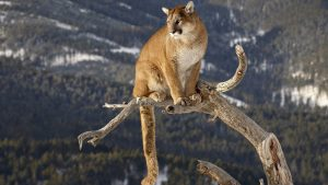 Mountain Lion Wallpapers – Top Free Mountain Lion Backgrounds