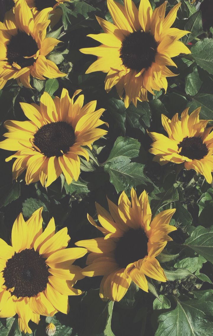 720x1136 Download Sunflowers Wallpaper, HD Backgrounds Download - itl.cat