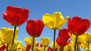 Red and Yellow Flowers Wallpapers – Top Free Red and Yellow Flowers Backgrounds