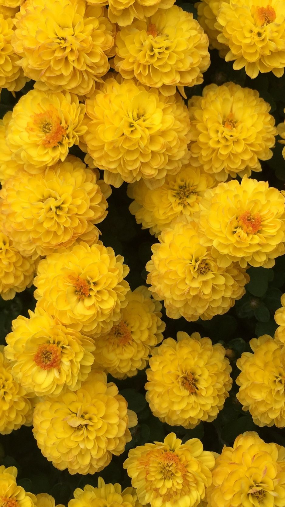 938x1668 Wallpaper Chrysanthemum, Flowers, Yellow - Iphone Xr ...