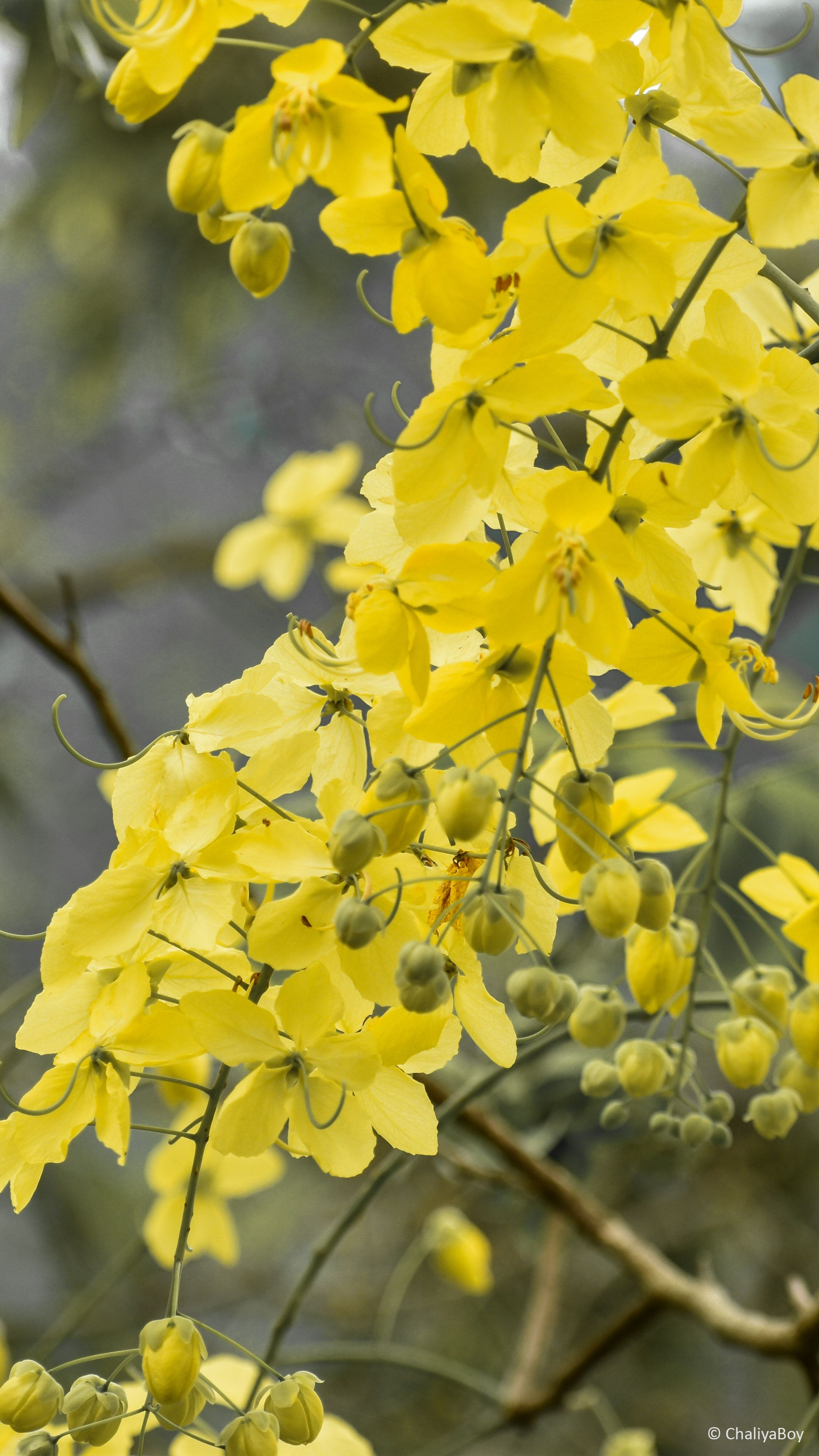 2160x3840 Download Yellow Golden Shower Flowers Free Pure 4K Ultra HD ...