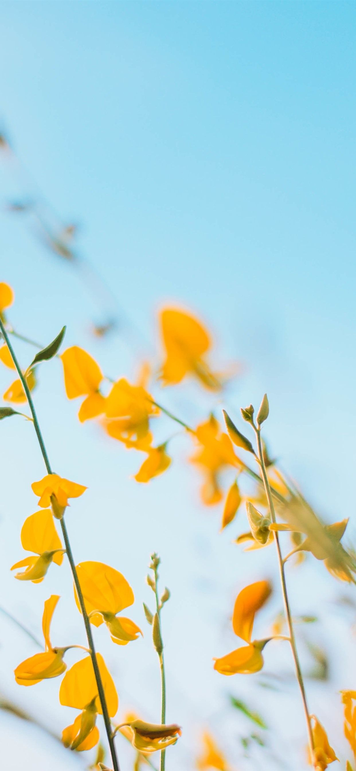 1242x2688 Yellow flowers, blue sky background 1242x2688 iPhone XS Max ...