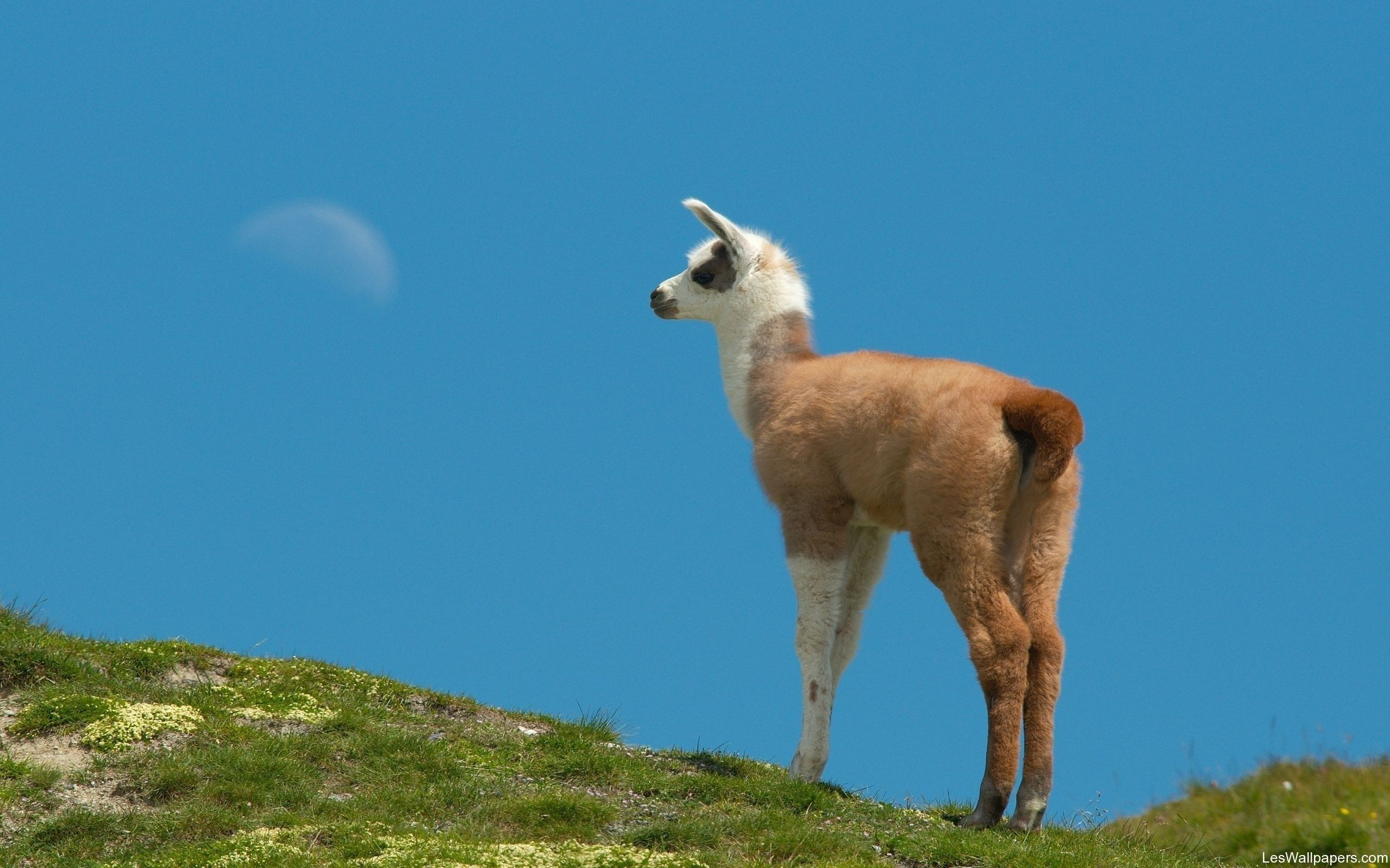 2560x1600 Lama - Wallpapers,Backgrounds,Pictures,Photos,Laptop ...