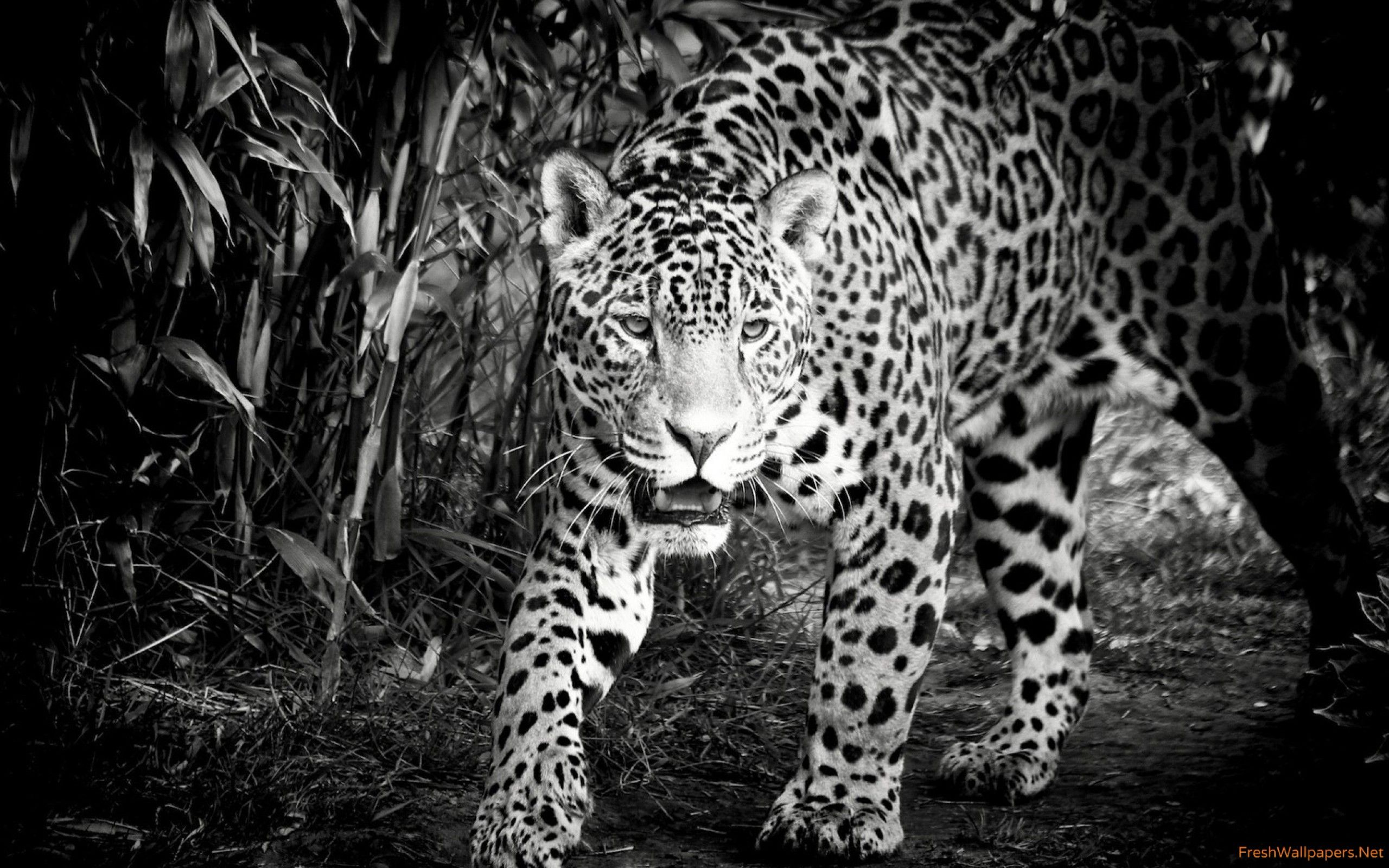 2560x1600 Black and White Jaguar wallpapers | Freshwallpapers
