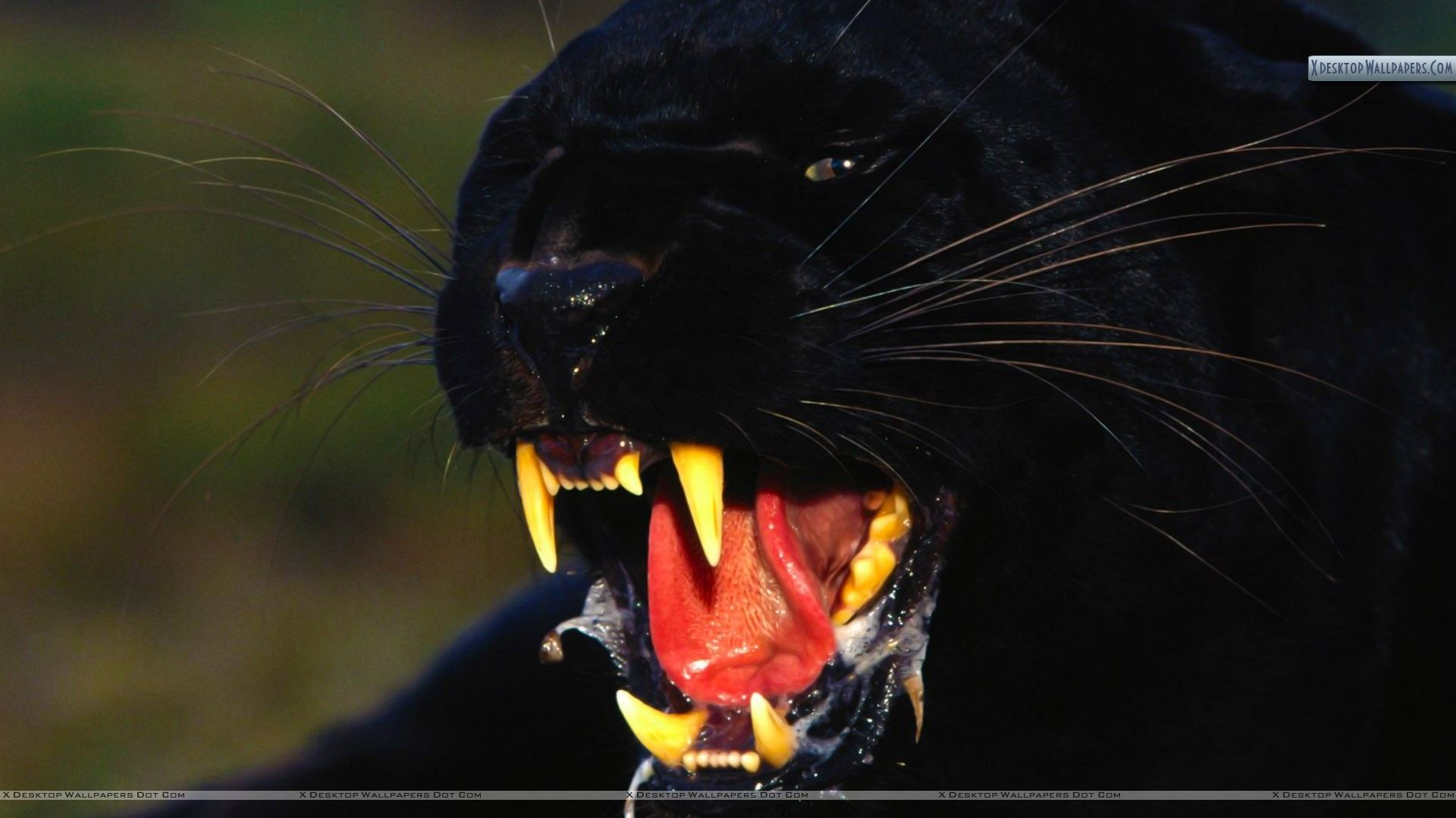 1920x1080 77+ Black Leopard Wallpapers on WallpaperPlay