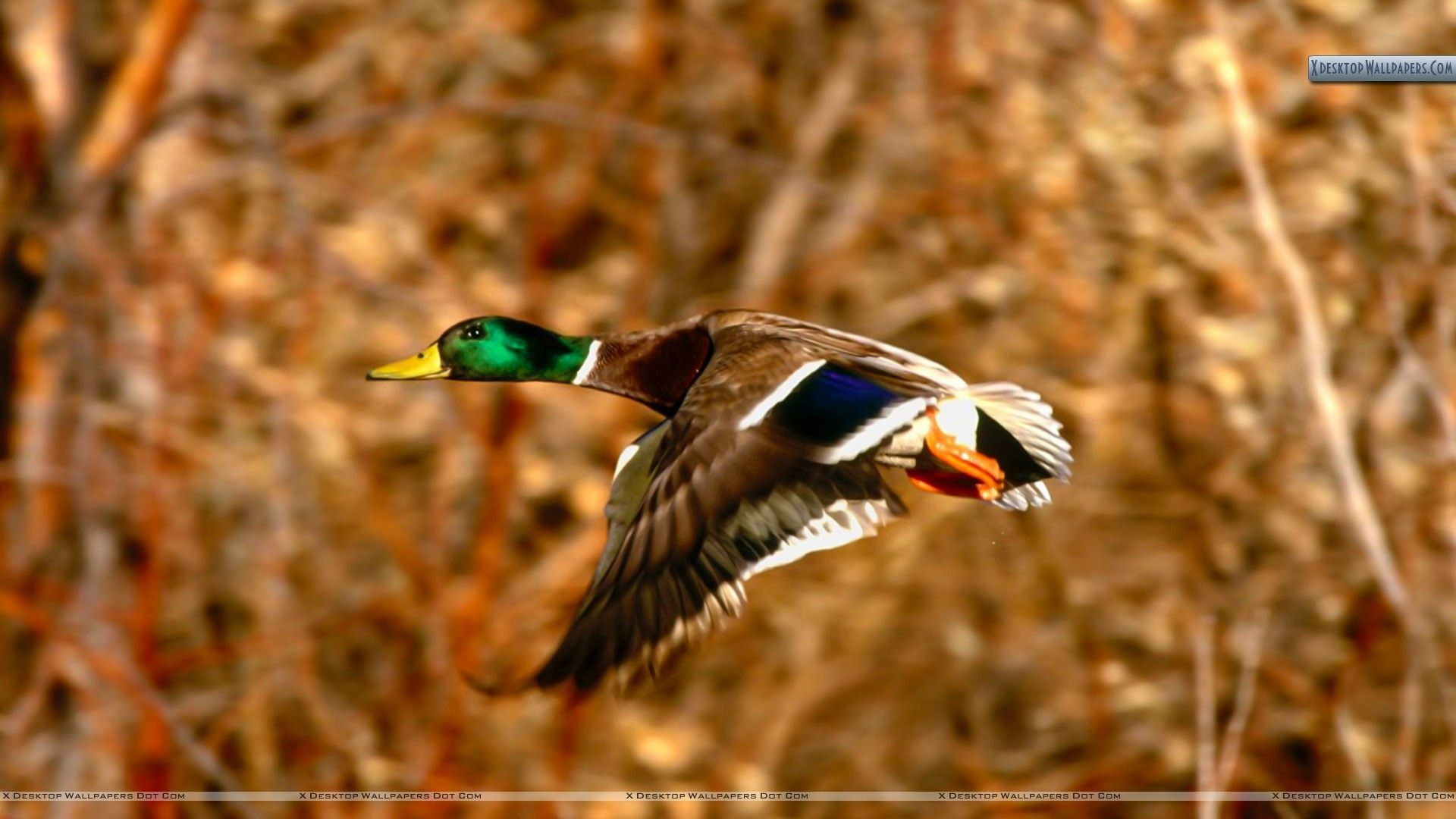 1920x1080 Duck Hunting Backgrounds ·①