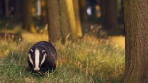 Badger Wallpapers – Top Free Badger Backgrounds