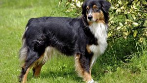 English Shepherd Wallpapers – Top Free English Shepherd Backgrounds