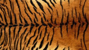 Tiger Print Wallpapers – Top Free Tiger Print Backgrounds