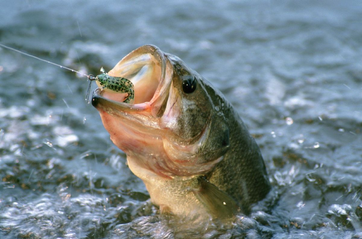 1200x793 Free download Pics Photos Largemouth Bass Wallpapers ...
