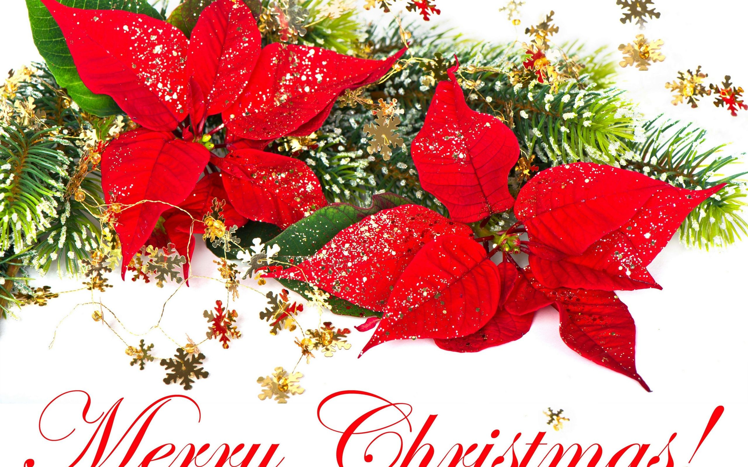 2560x1600 Best 41+ Christmas Poinsettia Backgrounds for Desktop on ...