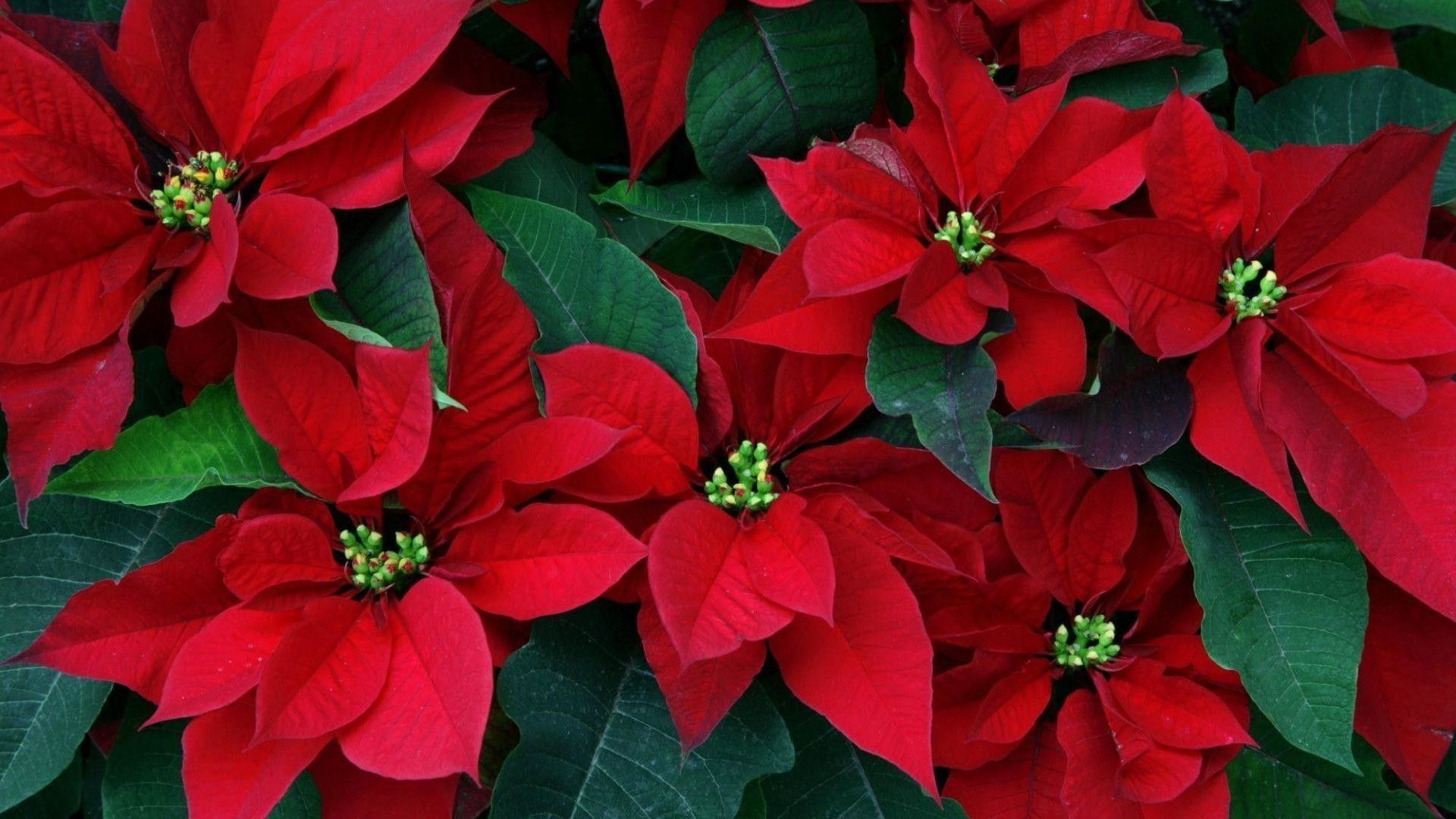 1920x1080 50+ Poinsettia Wallpapers on WallpaperPlay