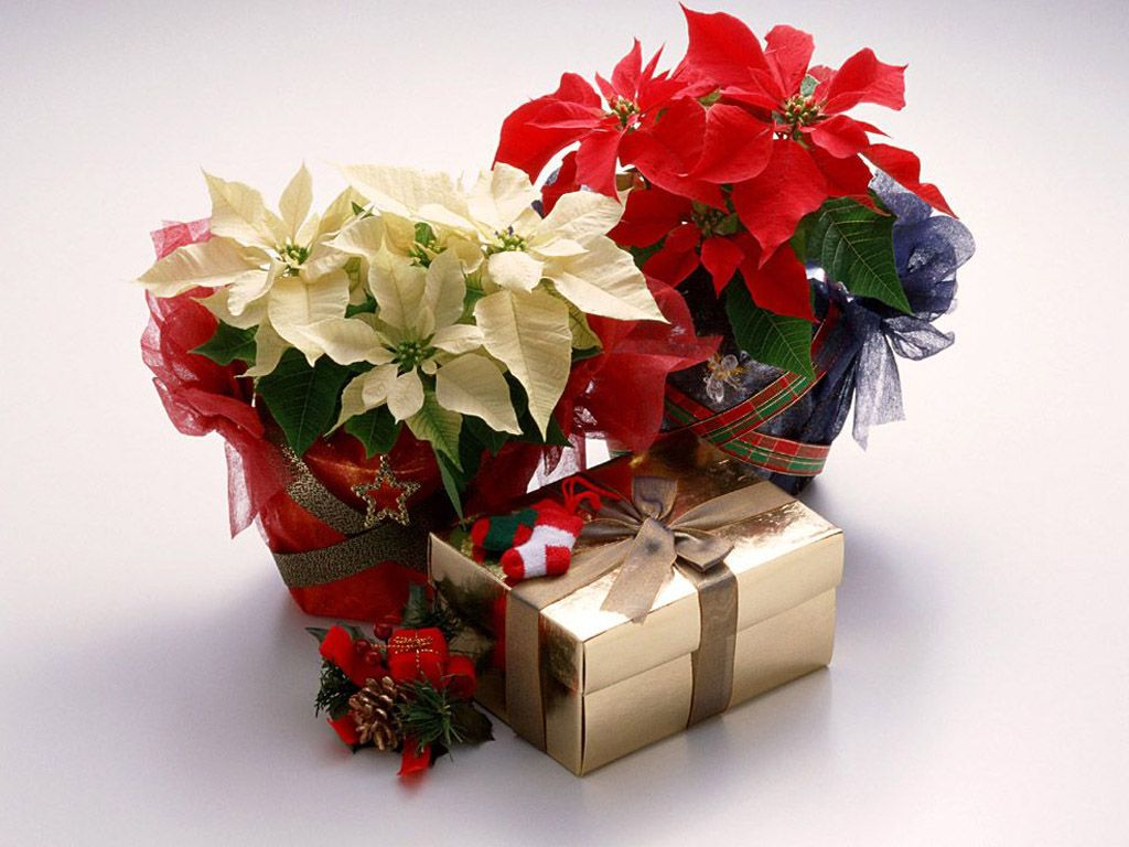 1024x768 Christmas Flowers (Poinsettia) - Wallpapers, Pics, Pictures ...