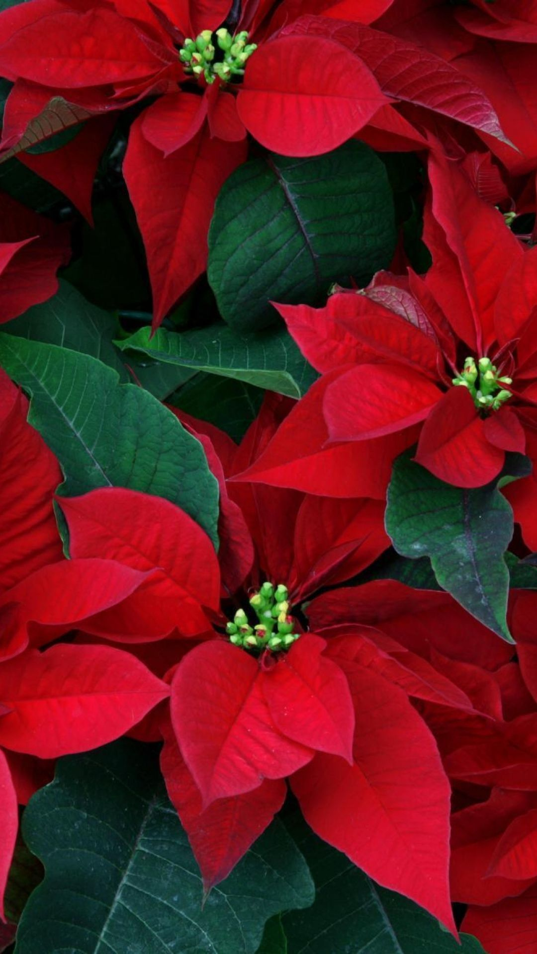 1080x1920 Poinsettia Flowers Herbs Leaves Red Close Up Wallpaper ...